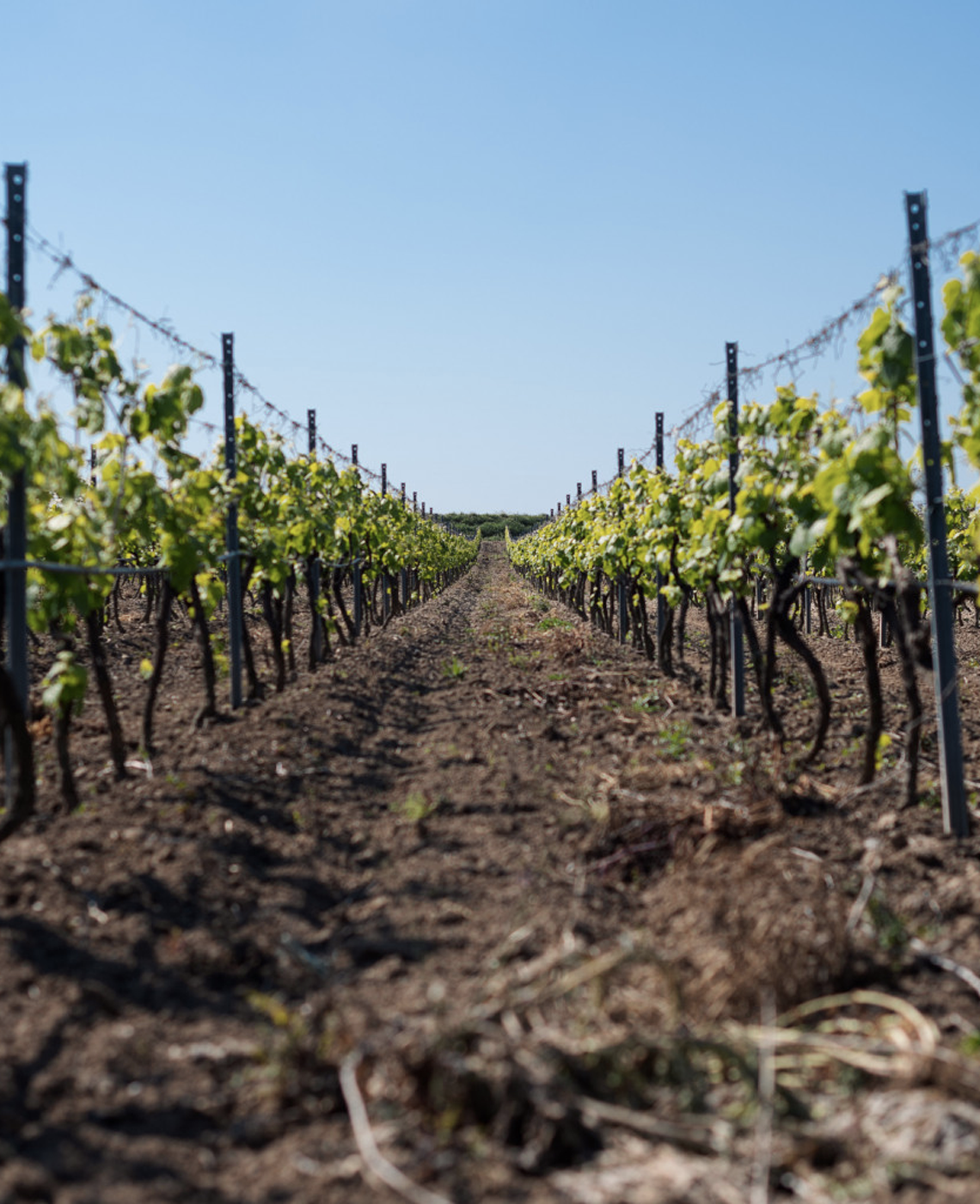vitigno-antica-enotria